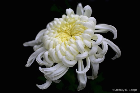 "Chrysanthemum #8 - ""Kiku In Japanese"""