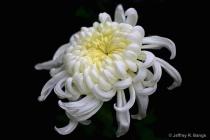 Chrysanthemum #8 ...