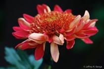 Chrysanthemum #9 ...