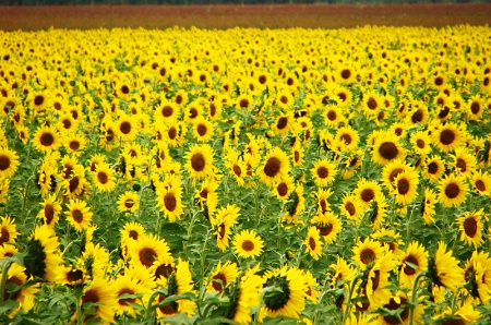 FIELD  OF  BIG  SUNFLOWERS