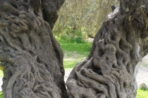 through the olive...