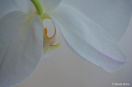 White Orchid Peek a Boo
