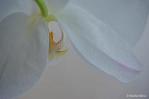 White Orchid Peek...