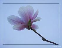 Ethereal Magnolia