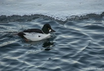 Goldeneye Duck at...