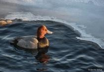 Red Head Duck in ...
