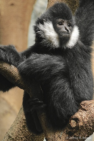 """White-Cheeked Gibbon"""