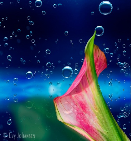 Water Calla