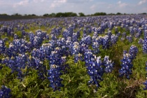 Bluebonnet Filled...