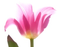 the flying tulip