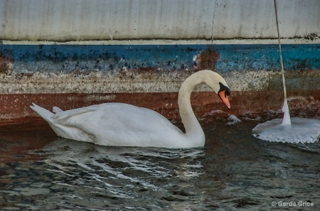Mute Swan at Harbourfront