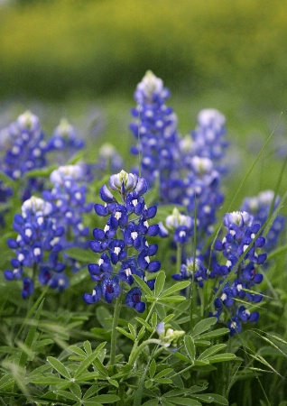 A Clump of Bluebonnets