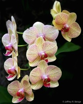 """""""Orchid #11&#..."""