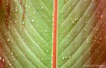 Rain on a leaf 2