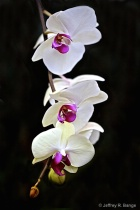 """""""Orchid #12&#..."""