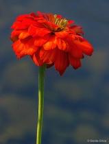 Orange Zinnia ove...