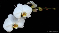 """""""Orchid #17&#..."""