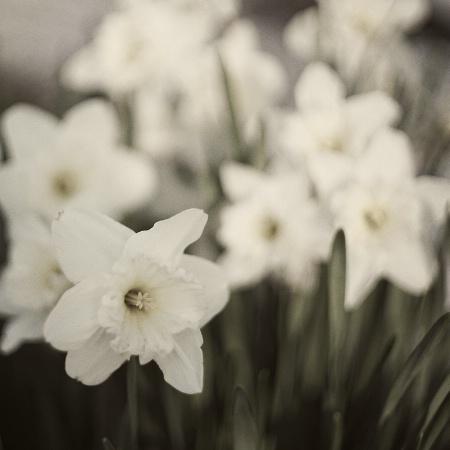 Daffodils Squared