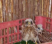 sad orphan chicks