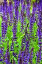 Pleasantly Purple