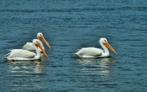 PELICANS SWIMMING...