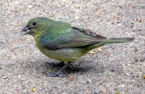 Painted Bunting F...