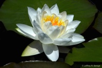 """Waterlily - """"..."""