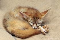 """""""Fennec Fox&#..."""