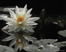 """""""Waterlily #1..."""