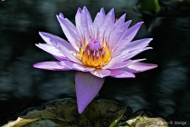 """""""Waterlily #2..."""
