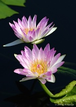 """""""Waterlily #3..."""