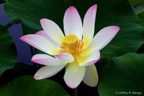 """""""Lotus #1&#34..."""