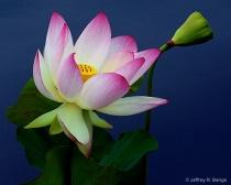 """""""Lotus #2&#34..."""