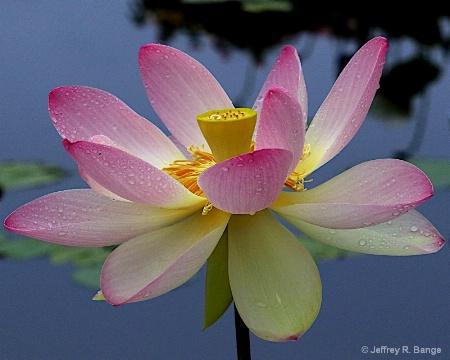 """""""Lotus #3"""""""