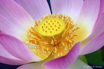 """""""Lotus #4&#34..."""