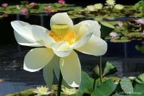 """""""Lotus #5&#34..."""