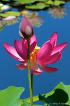 """""""Lotus #6&#34..."""