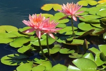 """Waterlily #6..."