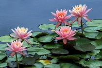 "Waterlily - ""..."