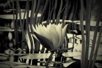 water lily in B&W