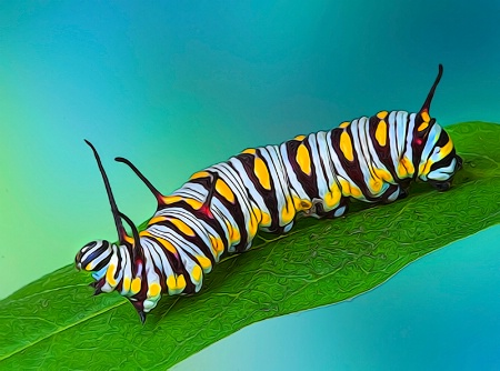 Queen Caterpillar