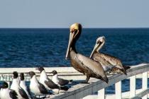 Mr & Mrs Pelican
