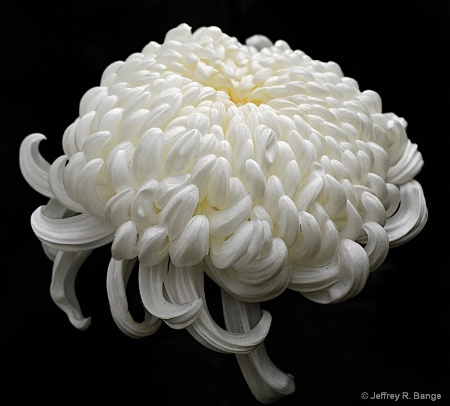 """Chrysanthemum #4"""