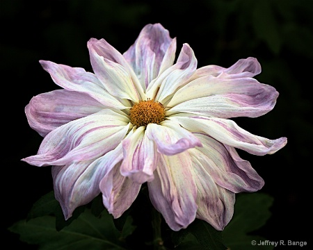 """Chrysanthemum #5"""