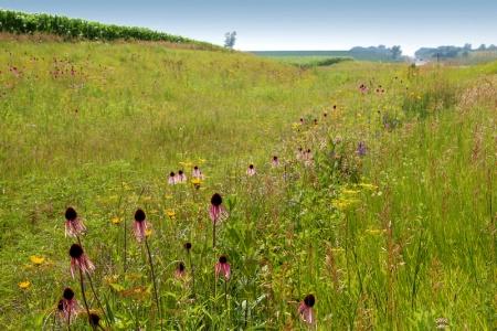 Iowa Ditch Flowers