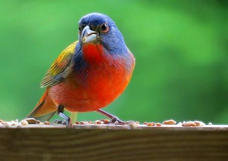 Beautiful Bunting Bird