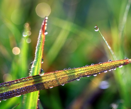 Grasses With Dew And Reflections