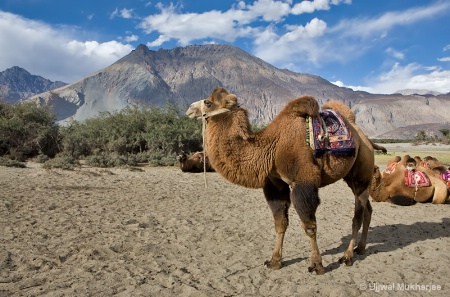Double-Humped Camel of Nubra