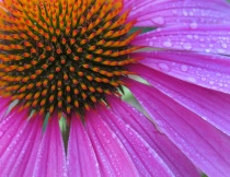 Coneflower After ...