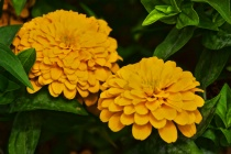 TWO  YELLOW FLOWE...